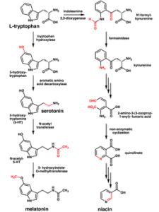 260px-Tryptophan_metabolism