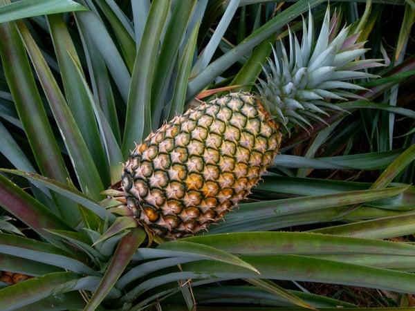 De ananasplant bevat bromelaine en dat is goed voor eiwitsplitsing en blessures en voor je vertering