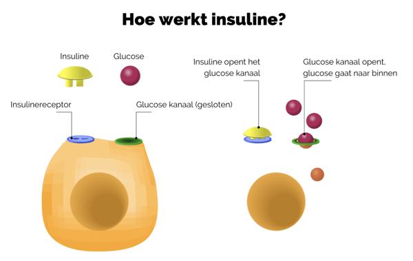 insuline, hoe werkt dat?