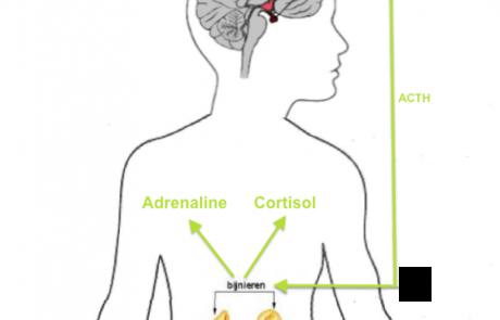 stress en cortisol